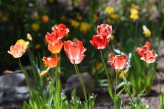 Tulips in Teton Village
