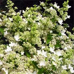 Hydrangea, paniculata