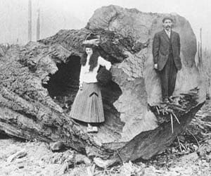 Fallen tree in Lynn Valley, circa 1912