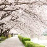 スマホでの桜の撮り方 写真撮影アプリや上手な固定の仕方は?