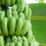 青いバナナのおいしい食べ方は?熟成させたり甘くする方法は?