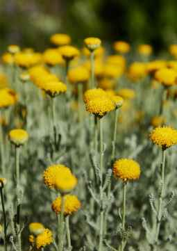 small yellow flowers in meadow