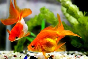 育てやすいオススメの金魚を紹介!金魚の飼育方法と特徴も解説