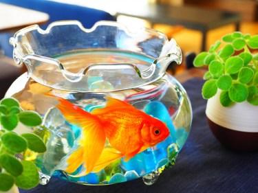 金魚鉢での金魚の飼い方と注意点、初心者飼育のコツと基礎知識