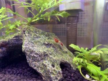 レッドビーシュリンプの繁殖方法 必要な環境と稚エビの育て方