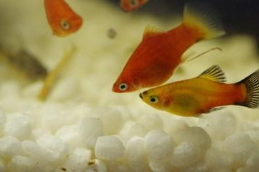 初心者でも飼育し易い「プラティ」の飼い方。種類、繁殖、混泳相手