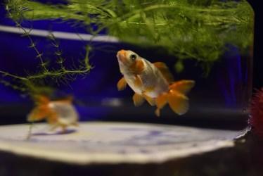 金魚が背びれをたたむ動作は要注意、体調不良の原因と対処方法