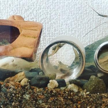ヤマトヌマエビの混泳相手、混泳の注意点と飼育方法、繁殖方法