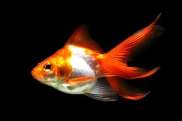 金魚の目の病気。目が出る病ポップアイとガス病、白濁の症状を解説