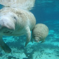 Over 300 Manatees Flood Three Sisters Spring