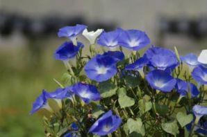 morning-glory-flowers