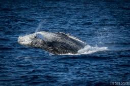 humpback whale hornblower cruise ocean san diego marine life 2