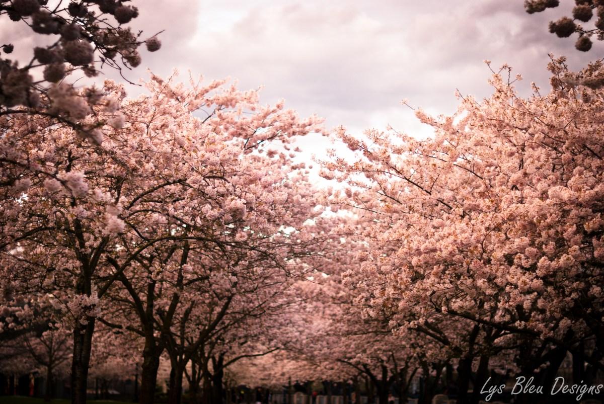 portland photos - portland pictures - portland images - spring photos - cherry blossoms - flowers - flower pictures - portland riverfront