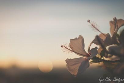 flowers hibiscus sunset coronado