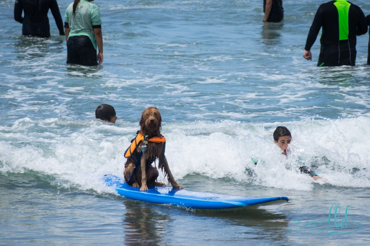 dog surfing - dogs - photos of dogs - event photography - surfing - surf photos- san diego - unleashed by petco - san diego photos - event photography