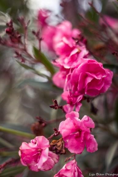 flowers pink balboa park