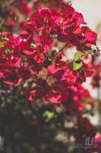 flowers bougainvillea red