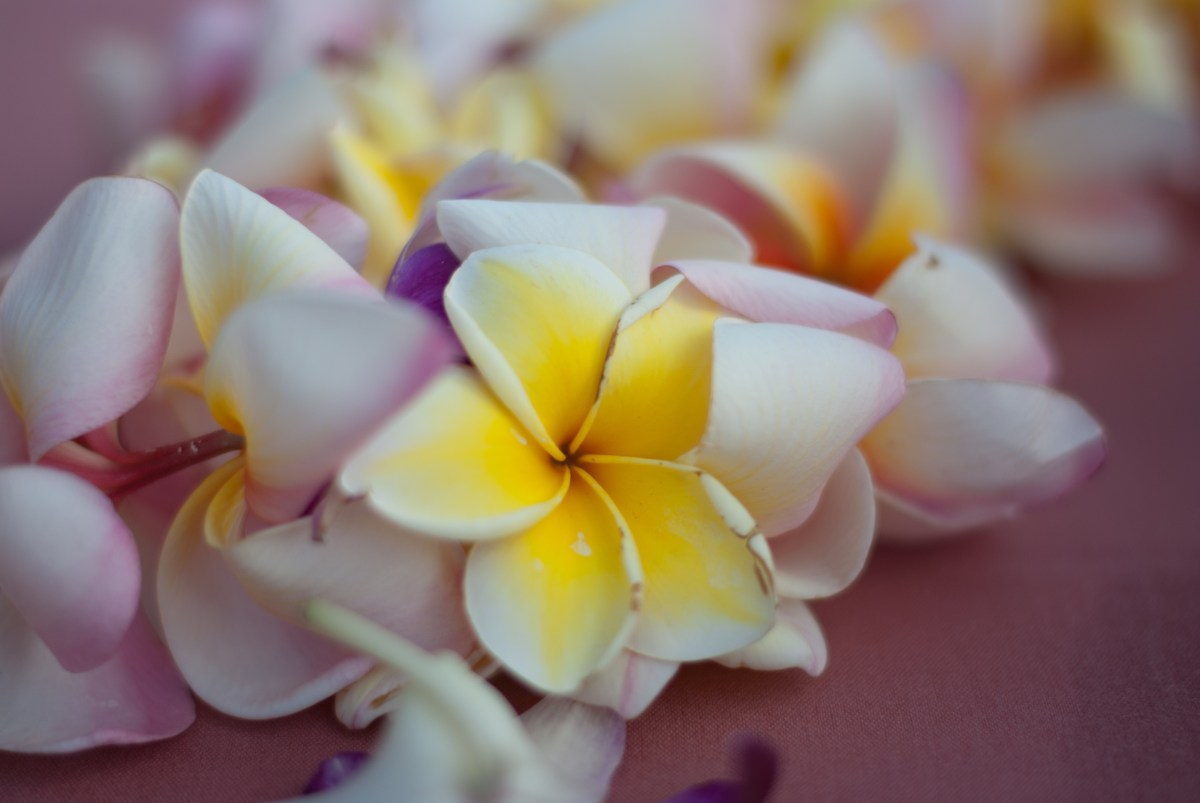 flower photos - flower pictures - flower images - lei - hawaii - plumeria