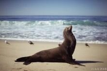 sea lion beach la jolla ocean san diego