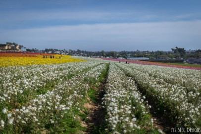 flowers ranunculus carlsbad flower fields 3