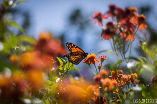 flowers butterfly carlsbad flower fields