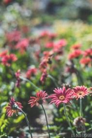 flowers carlsbad flower fields 2