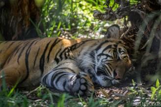tiger san diego zoo safari park