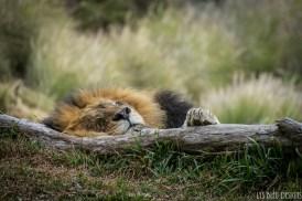 lion san diego zoo safari park sleeping