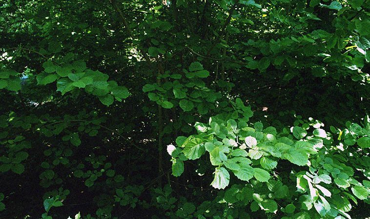 Eva Lindal's name translates to Valley of Lind Trees. I came across this Lind tree (aka small-leaved lime) in Nackareservaten. Her father is a Swede and just turned 90. Her mother was a refugee from Nazi Germany -- Sweden was very actively accepting refugee Jews during the war. Photo by Mark Weber -- June 2, 2o16.