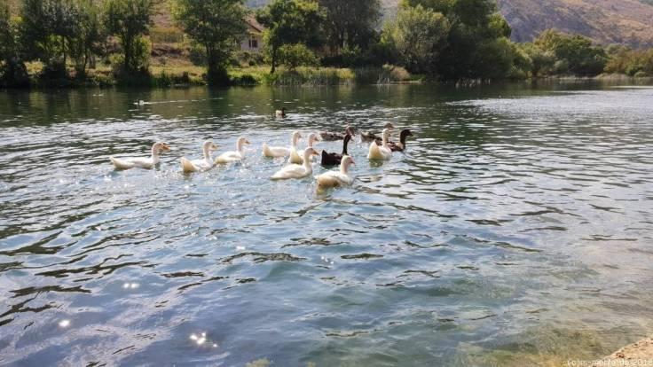 Enten auf der Buna, Bosnien - Herzegowina