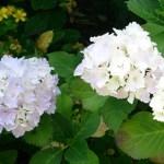 アジサイとバラの挿し木の成功率の高いやり方とコツ
