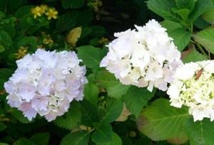 アジサイとバラの挿し木のコツ