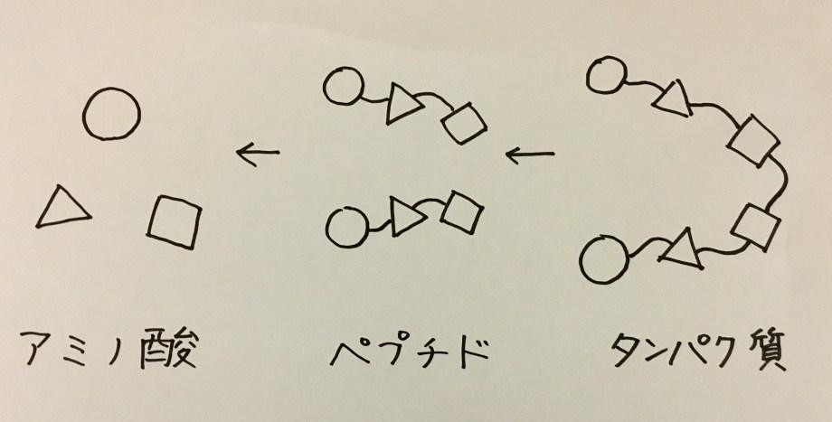 プロテインとアミノ酸の関係