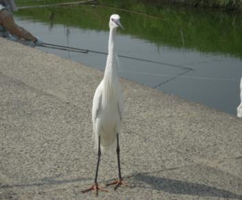 安威川の鷺