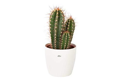 Cactus et plante grasse de Botanicly – Cactus Caripari en pot de fleur blanc comme un ensemble – Hauteur: 50 cm – Neocardinasia Herzogiana