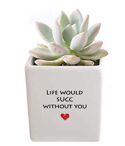 Costa Farms Mini Succulent Fully Rooted Live Indoor Plant, 2.5-Inch...