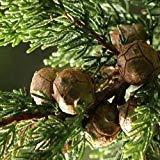 VISA STORE Monterey Semillas de semillas (Cupressus macrocarpa) 25 + Seeds (50+)