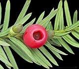 zumari 10 Semillas de rbol Taxus Baccata Rojo.