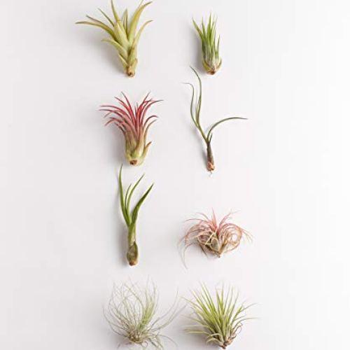 Shop Succulents   Live Air Plants