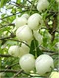 Bloom Green Co. Familia Clusiaceae Garcinia Mangostana Bonsai rbol de hoja perenne Mangostn prpura Fruta de Bonsai 95% Planta de jardn 100 piezas En maceta: 7