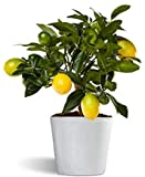 Limequat o limonella lakeland - limonero enano de interior - planta viva - maceta cermica 12cm