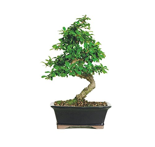 """Brussel's Live Fukien Tea Indoor Bonsai Tree - 6 Years Old; 6"""" to 10"""" Tall with Decorative Container"""