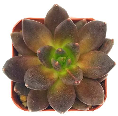 Fat Plants San Diego Live Echeveria Succulent Plant (2 inch, Black...