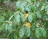VISA STORE 10 Semillas de Sonora estrangulador de 3397 (Ficus Pertusa)