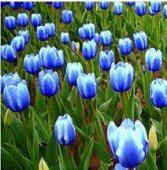 Toutes sortes de bulbes de tulipes belles fleurs de jardin sont appropriés pour les plantes en pot (il n'est pas une graine de tulipe) bulbes 2PC 6