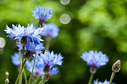 Sweet Yards Seed Co. Blue Cornflower Seeds – Bachelor Buttons – Extra Large Packet – Over 5,000 Open Pollinated Non-GMO Wildflower Seeds – Centaurea cyanus