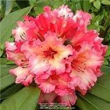 Bloom Green Co. 100 unids/bolsa Plantas de Rododendro de Azalea Raras Biji En Maceta Como Lirios de Geranio Semillas De Flores Planta de Bonsai de Raras Jardn de casa: 12