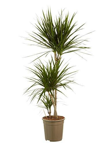 Plante d'intérieur de Botanicly – Dragonnier – Hauteur: 125 cm, 3 pousses – Dracaena Marginata