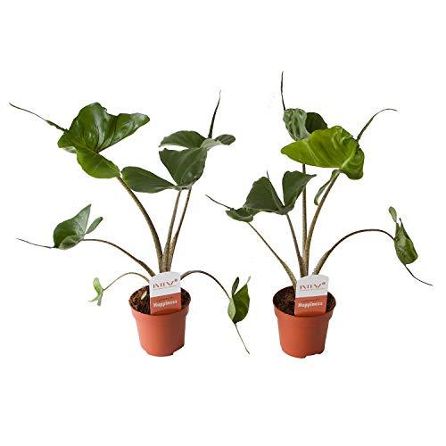 Plantes d'intérieur de Botanicly – 2 × Oreille d'Éléphant en pot de fleur décoratif comme un ensemble – Hauteur: 60 cm – Alocasia Cucullata