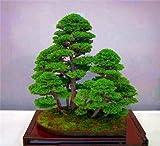 Semillas Semillas 50 Pcs E El Juniper Semillas de arranque -Juniperus Procumbens 'Nana' para jardn ornamental
